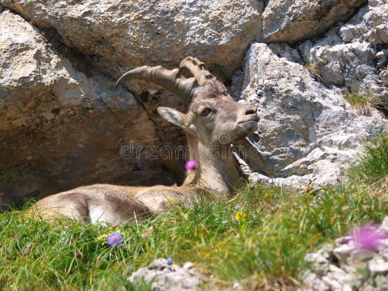 Steenbok - steenbok Capra in Alpen royalty-vrije stock foto