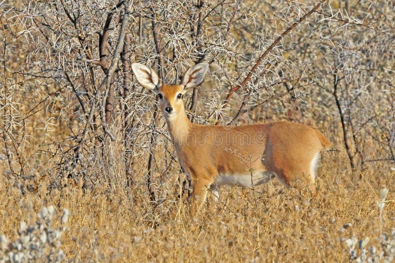 Steenbok, Steenbuck, campestris Raphicerus стоковая фотография