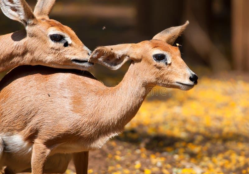 Steenbokkies au printemps photographie stock