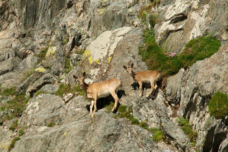 Steenbokzwerm op bergen royalty-vrije stock foto's