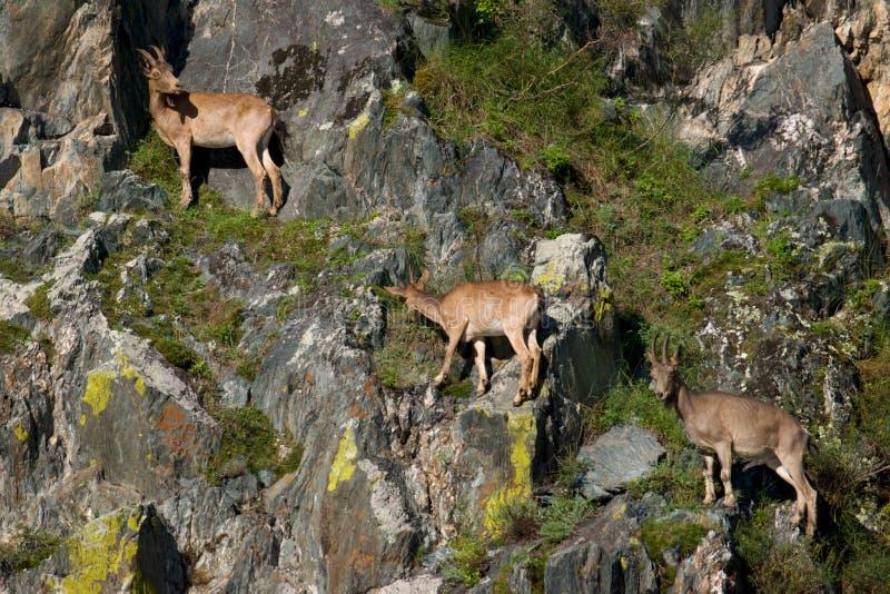 Steenbokzwerm op bergen royalty-vrije stock afbeeldingen