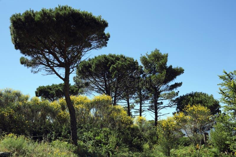 Steenpijnboom en Spaanse bezem royalty-vrije stock foto's