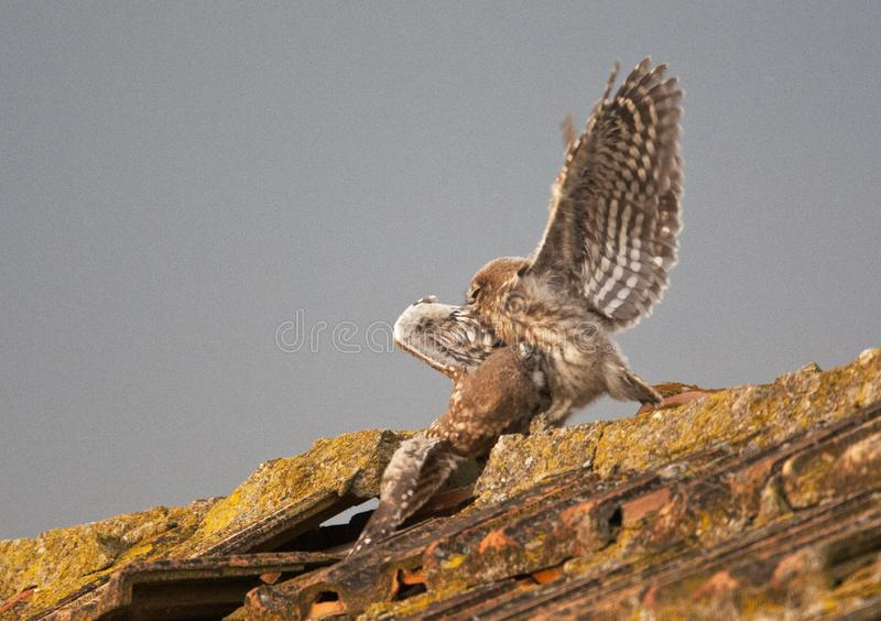 Steenuil, Little Owl, Athene noctua stock photos
