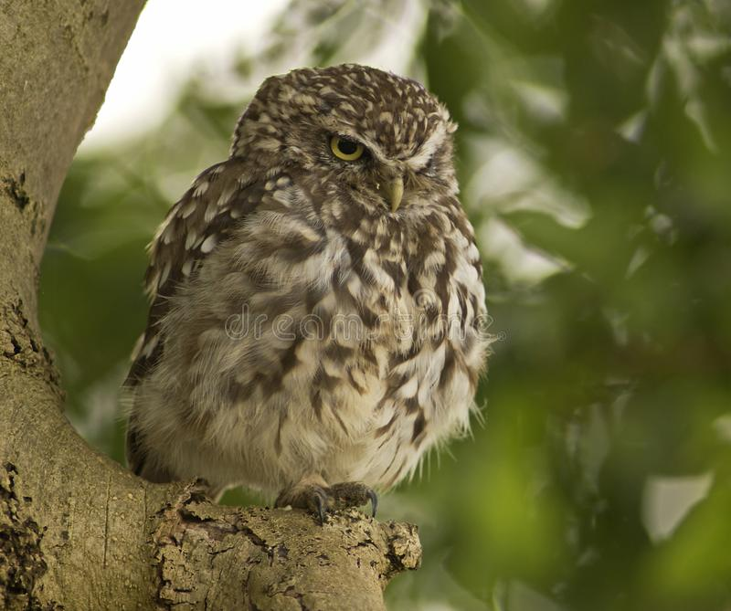 Steenuil, Little Owl, Athene noctua stock photography