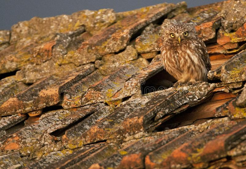 Steenuil, Little Owl, Athene noctua royalty free stock photo