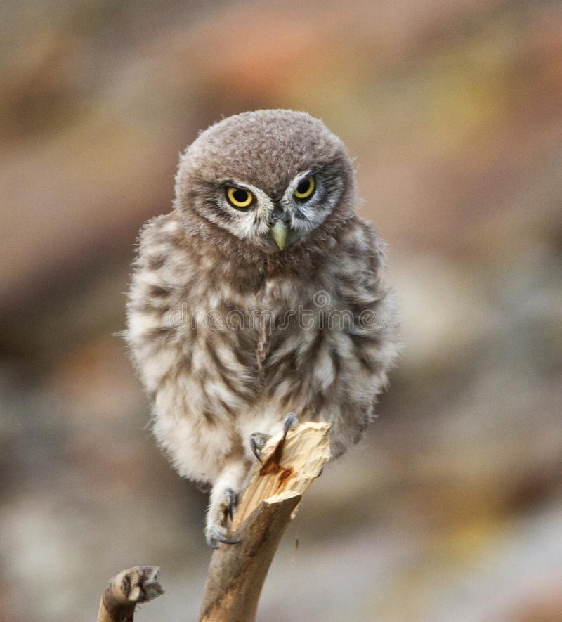 Steenuil, Little Owl, Athene noctua royalty free stock images