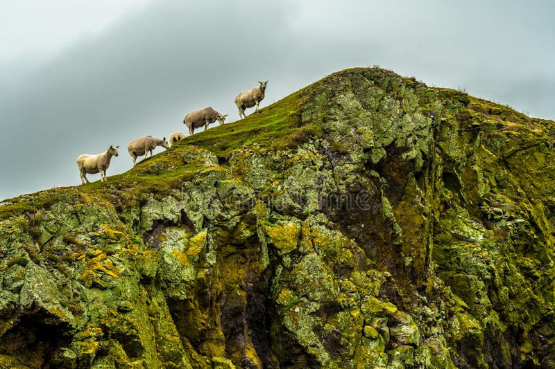 Steep Cliffs With Calm Sheep At The Spectacular Coast On St. Abbs Head In Scotland.  royalty free stock images
