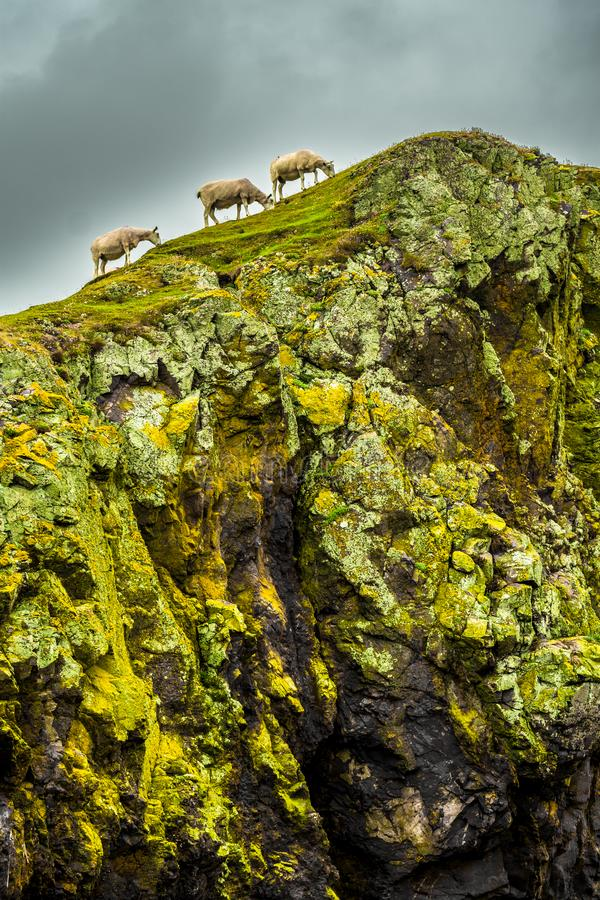 Steep Cliffs With Calm Sheep At The Spectacular Coast On St. Abbs Head In Scotland.  stock images