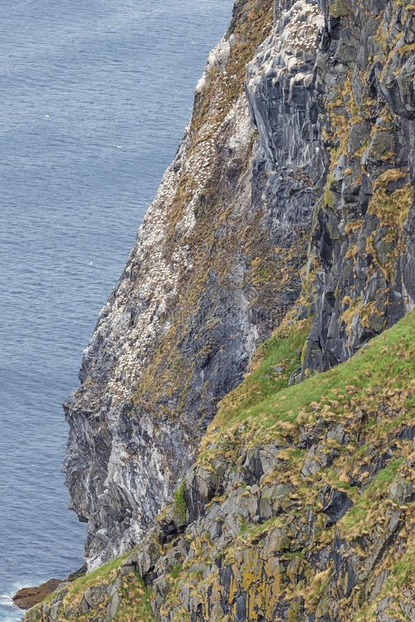 Steep cliffs with northern gannets nesting royalty free stock photography