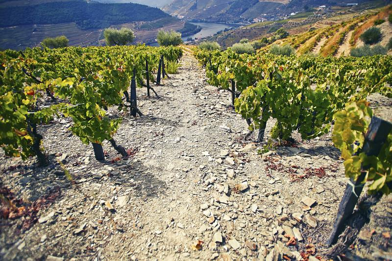 Steep, stony path among green wine bushes with the river in the background. Douro region. Portugal. stock photo
