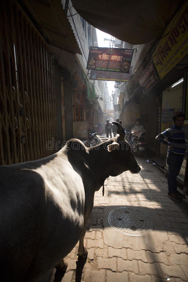 A steer in the back alleys of Varanasi royalty free stock photo