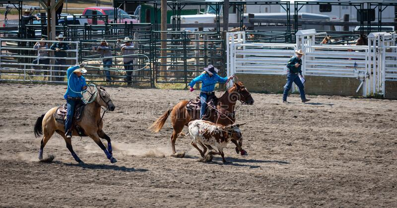 Steer roping at a rodeo stock image