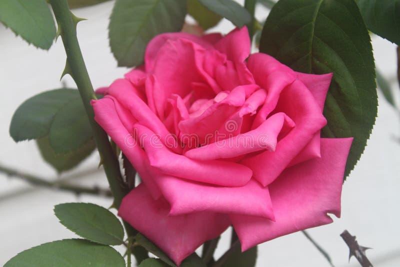 Steg att blomma för blomma royaltyfria foton