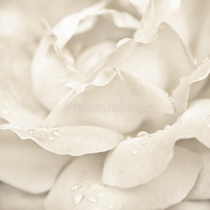 Steg blomman med regndroppar royaltyfria bilder