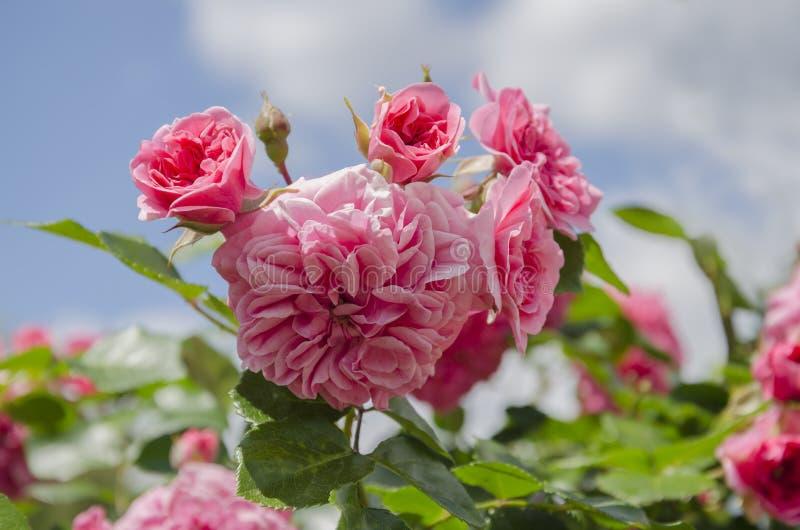 Steg blommarosa färger royaltyfria foton