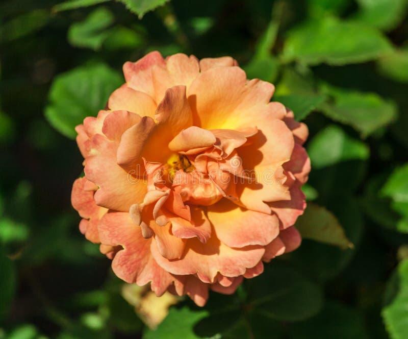 Steg den lätta blommakvaliteten gör det, en stor blomma, apelsin-persika ton, arkivbilder