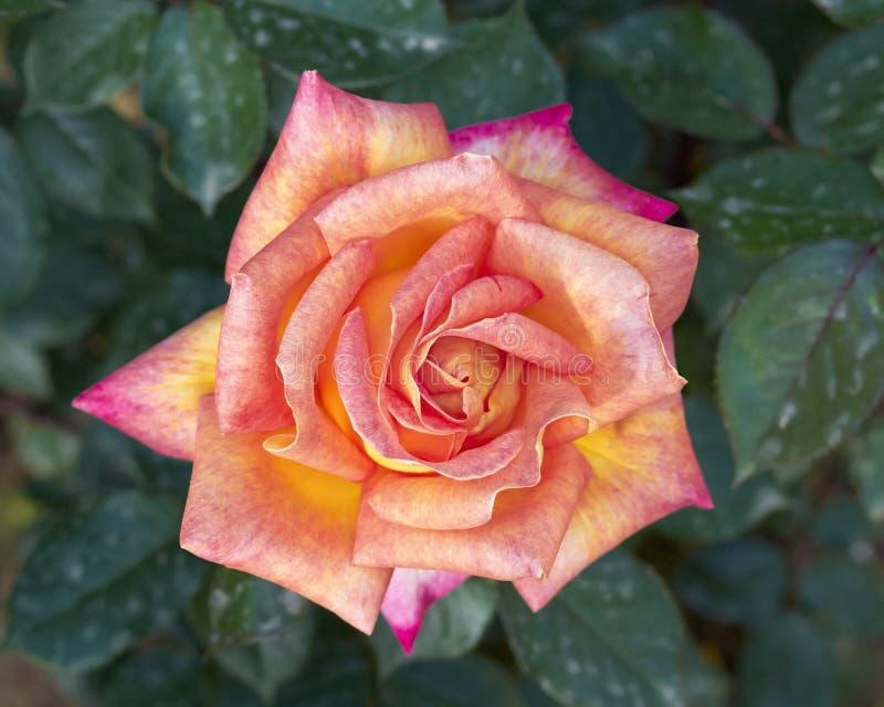 steg den mörka blommapinken för closeupen royaltyfria foton