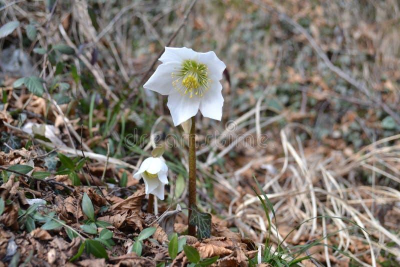 Steg den vita blomman för den lösa helleboren i vinter eller vinter arkivbilder
