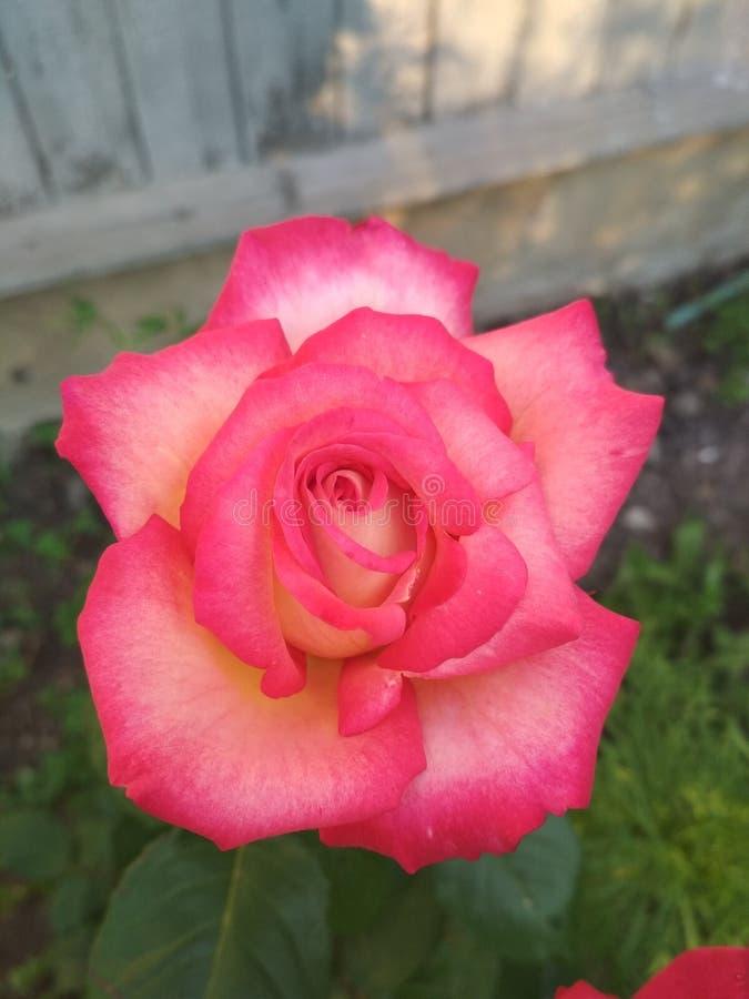 Steg från min trädgård royaltyfri bild