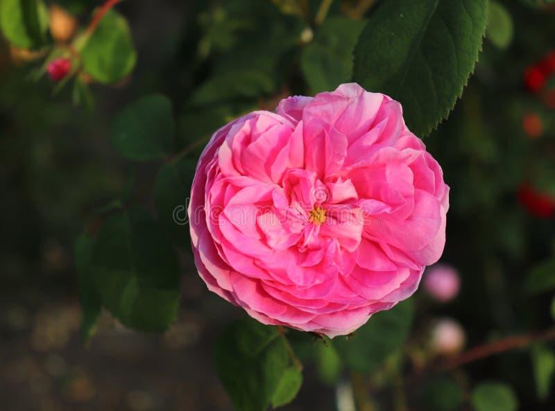 Steg härliga rosa färger för Closeup Giardina som fotograferades i den organiska trädgården med suddig lövverk Natur och rosa beg arkivbilder