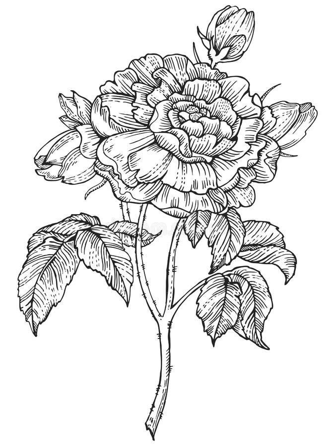Steg illustrationen för vektorn för blommagravyrstil vektor illustrationer