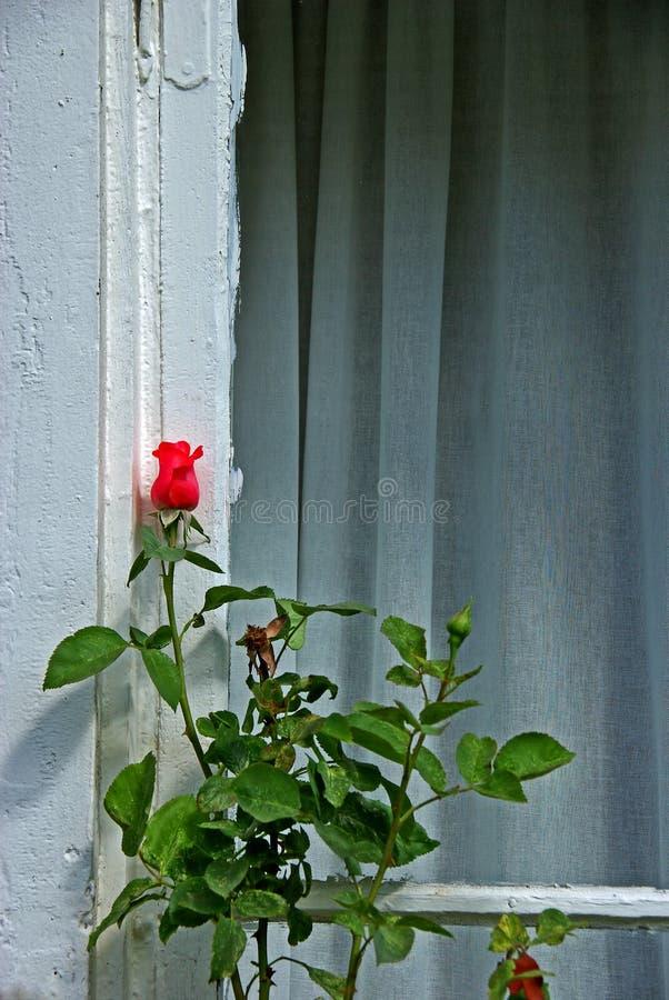 Steg knoppen på stjälk framme av ett fönster royaltyfri foto