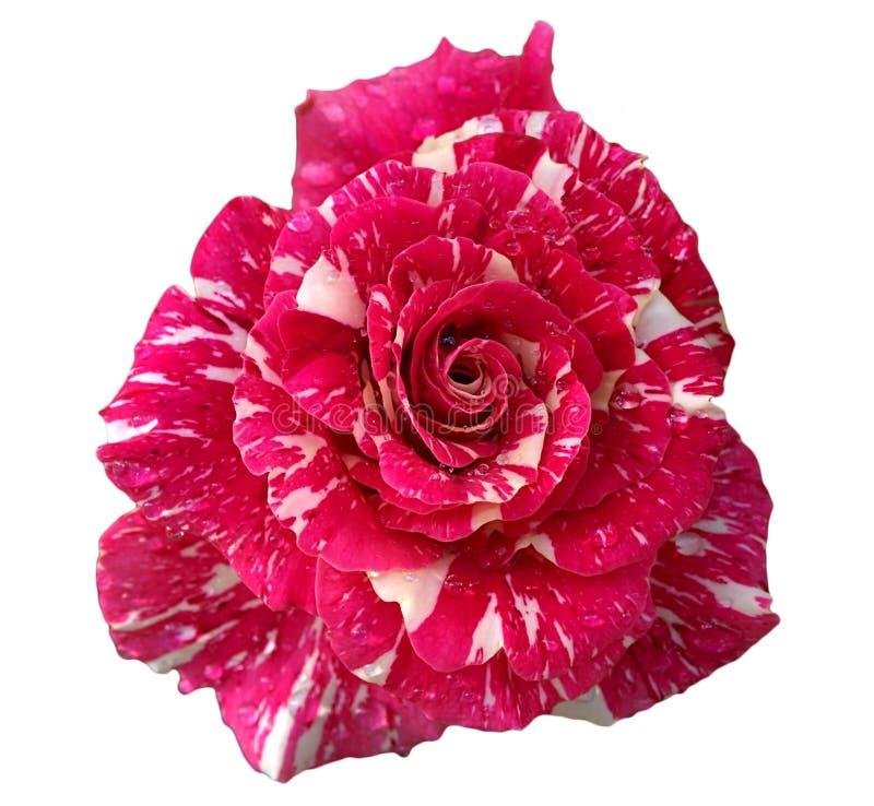 Steg röd marmorskugga för den härliga blomningen isolerat på vit royaltyfri fotografi