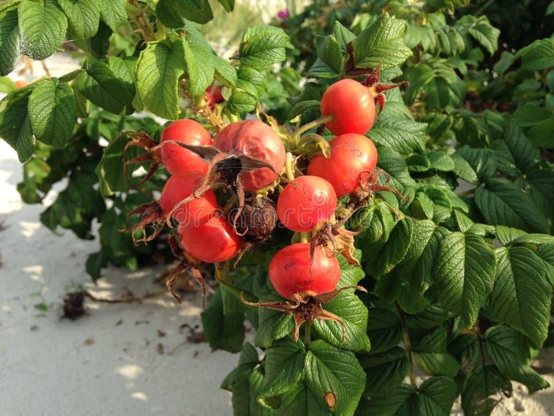 Steg & x28; Rosa& x29; Växt Bush med Rose Hips Growing i sanddyn arkivbild