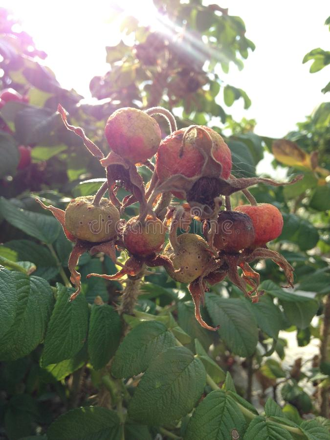 Steg & x28; Rosa& x29; Växt Bush med Rose Hips Growing i sanddyn arkivfoto