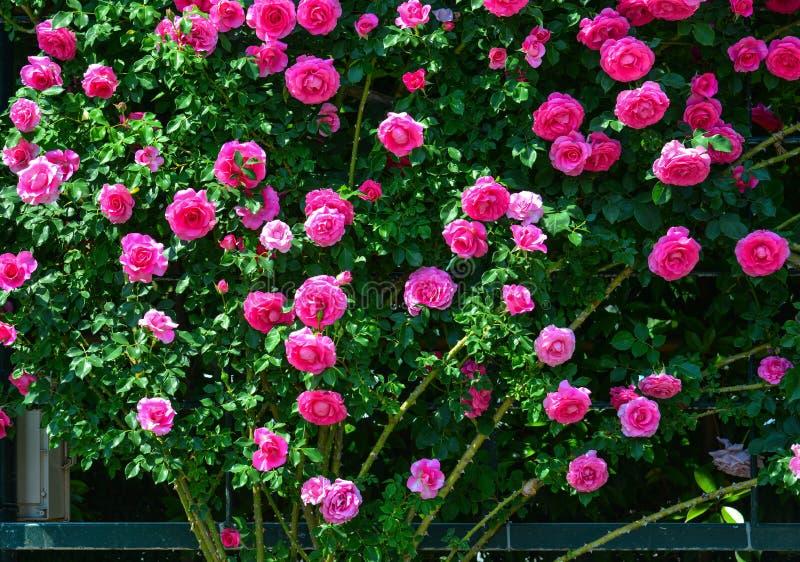 Steg trädgården på Ashikaga parkerar i Japan royaltyfria foton
