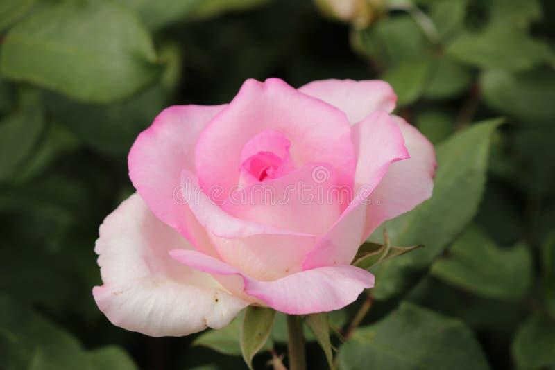 Steg typ namngav beverly i närbild som isolerades från en rosarium i Boskoop Nederländerna royaltyfri fotografi