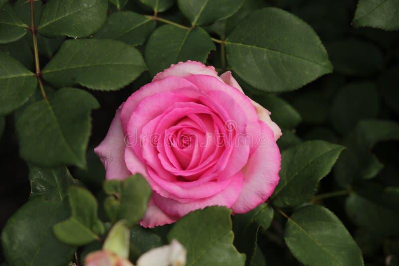 Steg typ namngav beverly i närbild som isolerades från en rosarium i Boskoop Nederländerna royaltyfria foton
