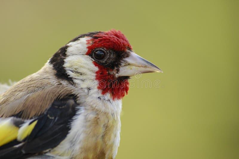 steglits En härlig och irriterad fågel arkivbilder