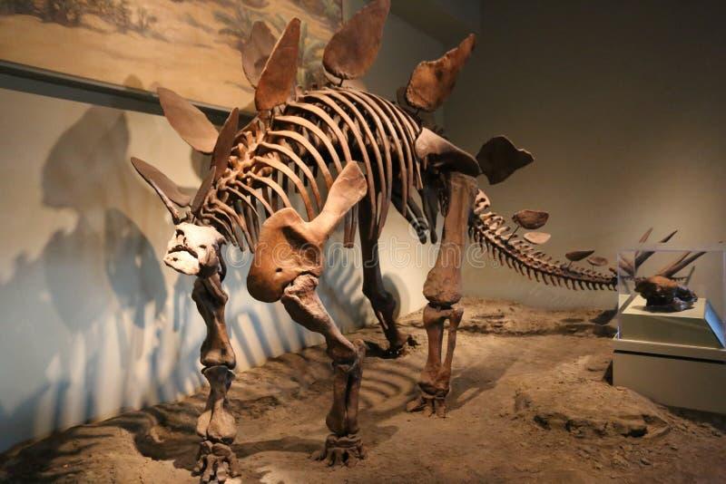 stegosaurus royaltyfri fotografi