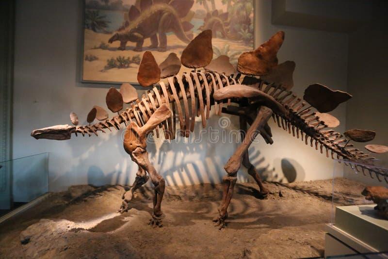 stegosaurus stockfotos