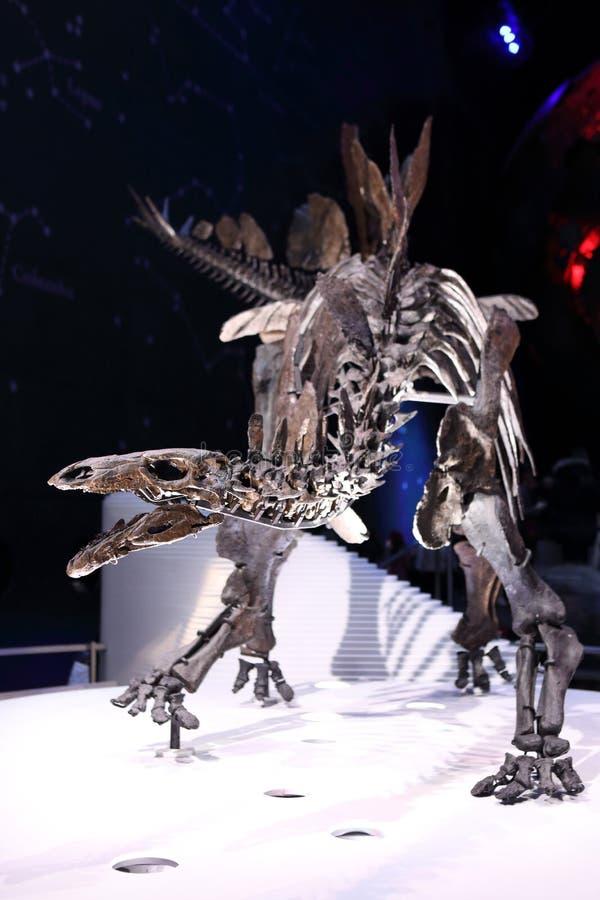 Stegozaura kościec zdjęcia royalty free