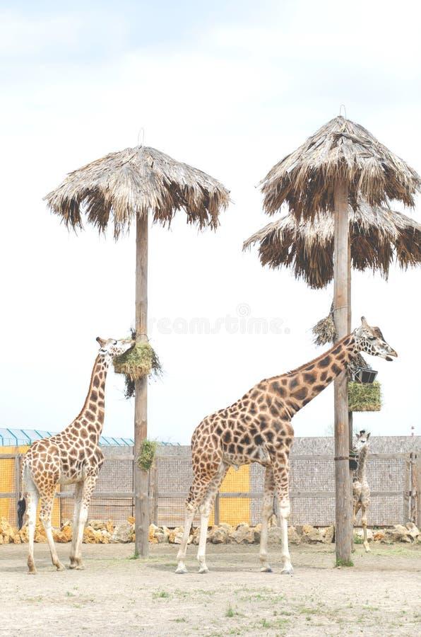 Stehen sch?ne Frau und Mann der Giraffe zwei in der N?he lizenzfreies stockbild
