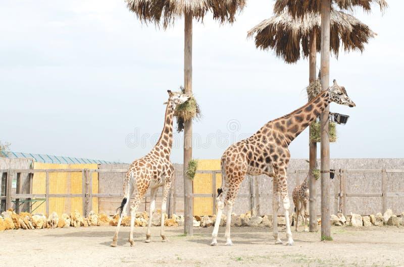 Stehen sch?ne Frau und Mann der Giraffe zwei in der N?he stockbilder