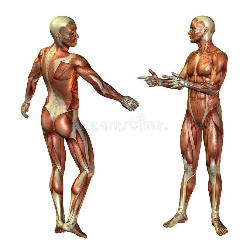 Stehende Struktur des muskulösen Mannes stock abbildung