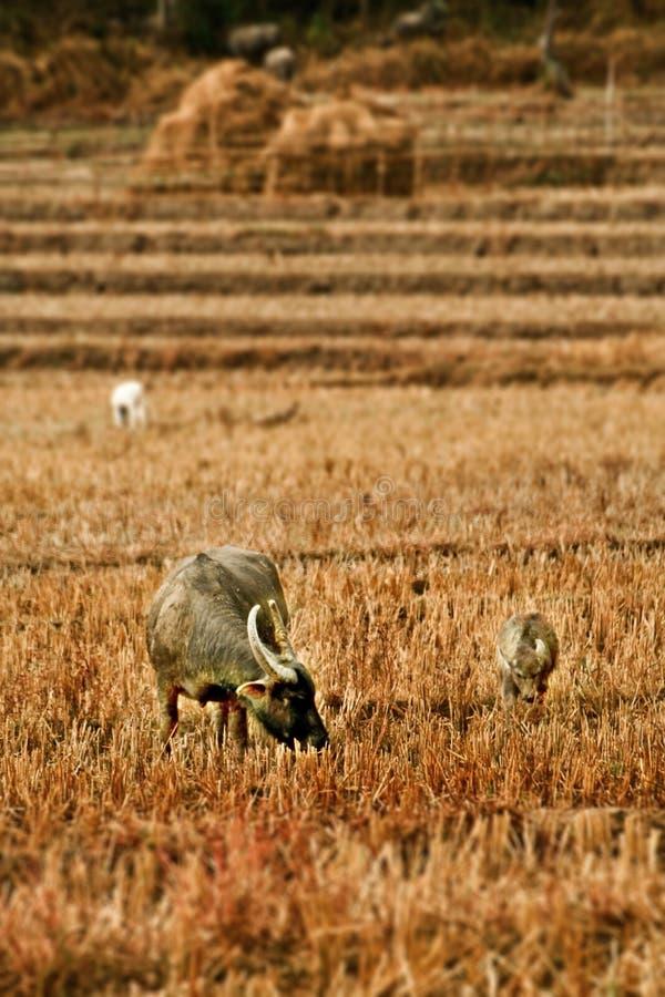 Stehender B?ffel essen das Gras auf dem Gebiet lizenzfreies stockfoto