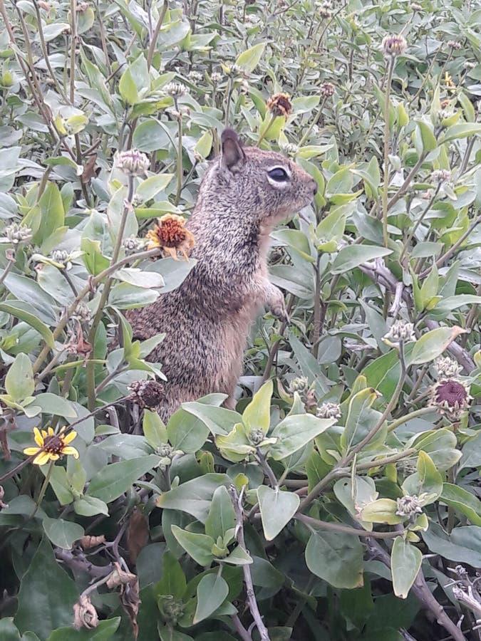 stehender brauner Strand Eichhörnchennahaufnahme-Karlsbads Kalifornien lizenzfreies stockbild