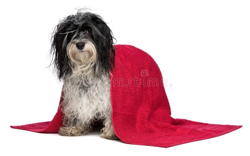 Stehender nasser havanese Hund nach Bad lizenzfreie stockbilder
