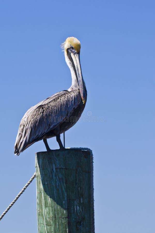 Stehender Pelikan stockbilder