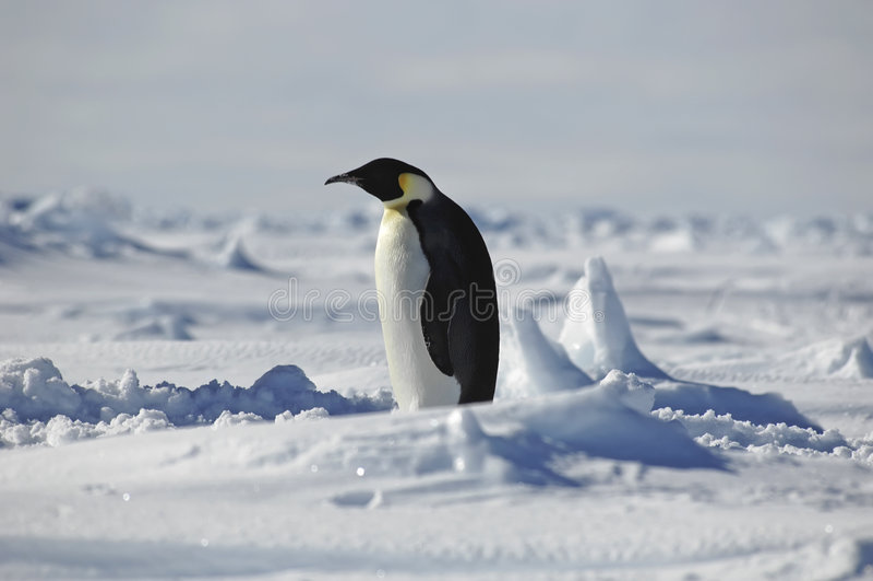 Stehender Pinguin