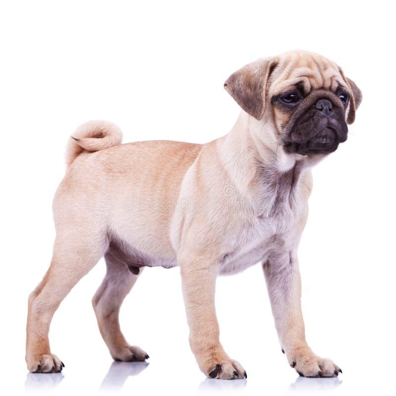 Stehender Pugwelpenhund, der zu einer Seite schaut stockbilder