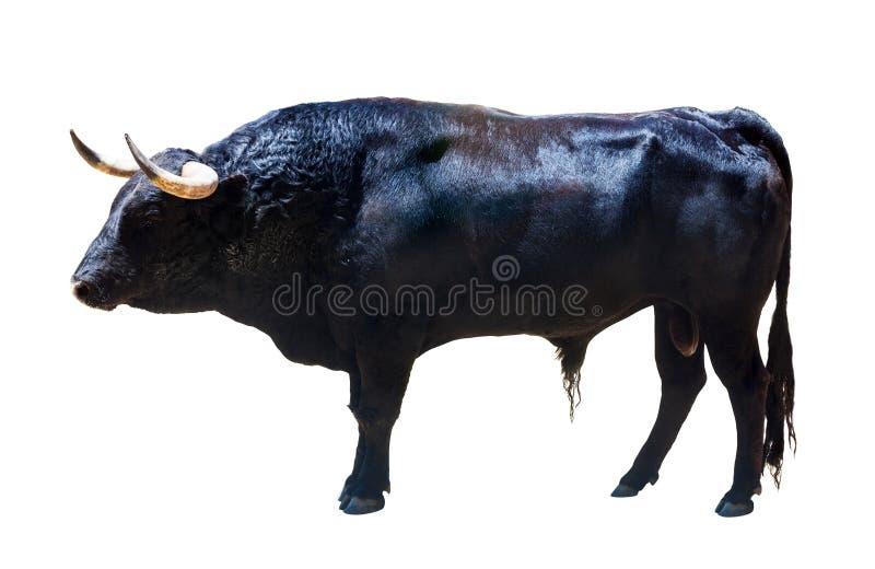 Stehender schwarzer Stier, lokalisiert über Weiß lizenzfreies stockfoto