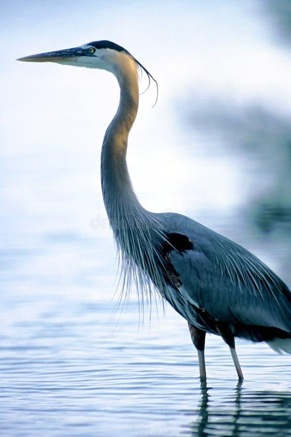 Download Stehendes hohes stockfoto. Bild von nave, groß, blau, vogel - 40644