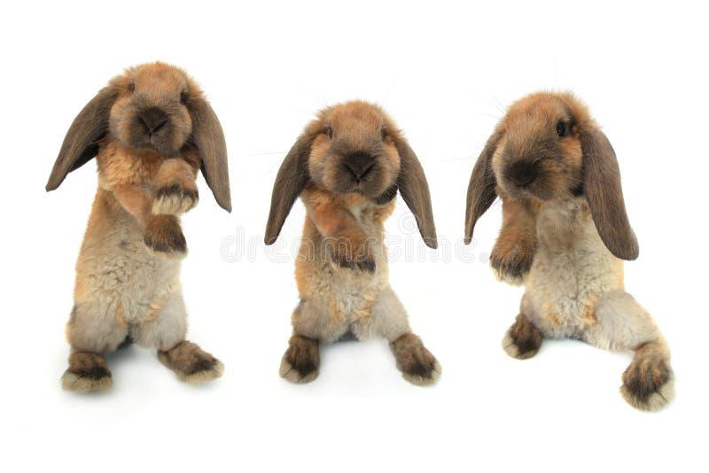 Stehendes Kaninchen drei lizenzfreie stockfotografie