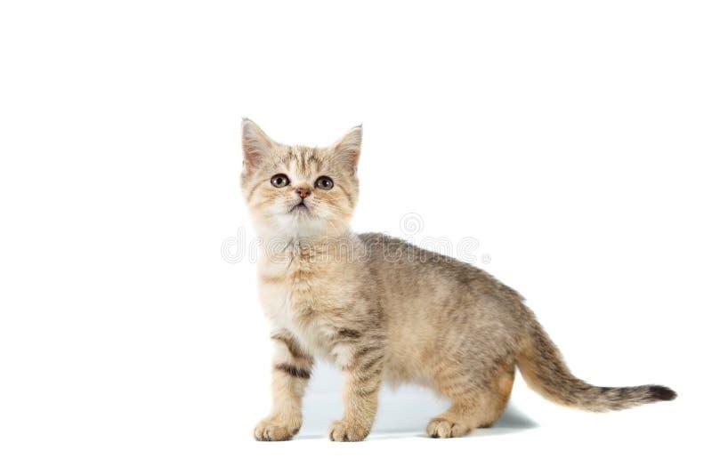 Stehendes schottisches gerades Katzenkätzchen, das oben auf weißem Hintergrund lokalisiert schaut lizenzfreies stockfoto