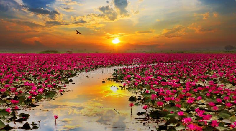 Steigende Lotosblume des Sonnenscheins stockfoto